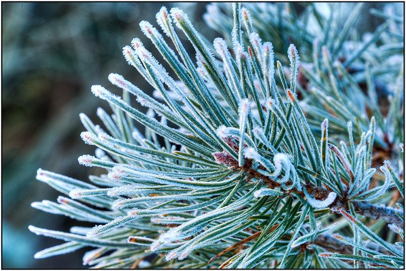 Bill_Bishoff_Frosty pine needles