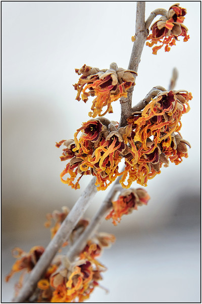 Bill_Bishoff_ Witch hazel- first flower to bloom
