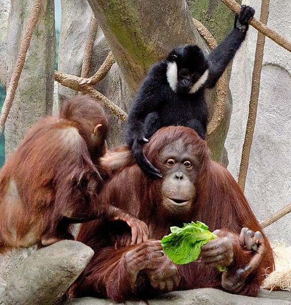 Sue Lindell-Orangutan3