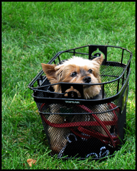 DCC-BlacK0001-A3-Basket Guard Dog