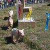 j ballengee_pig race