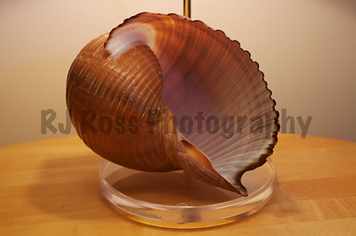 Detail of Tonna Oleria shell & acrylic base