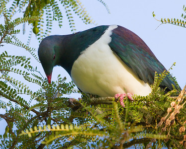 Kereru feeding on kowhai Bushy Park  --- Paul Willyams Photography