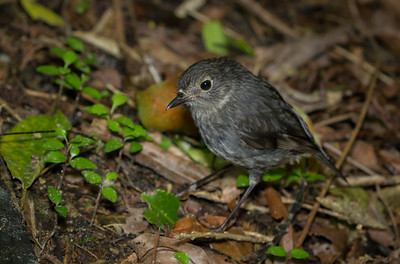 North Island Robin Bushy Park  --- Paul Willyams Photography