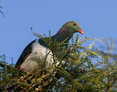 Kereru Bushy Park  --- Paul Willyams Photography
