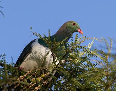 Kereru Bushy Park  --- Paul Willyams Photography