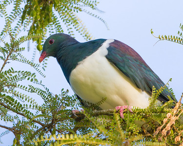 Kereru (Native wood pigeon) Bushy Park  --- Paul Willyams Photography