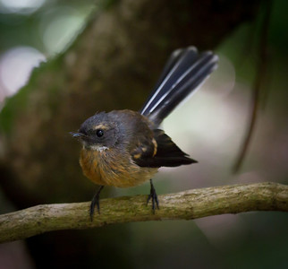 Piwakawaka (fantail) Bushy Park  --- Paul Willyams Photography