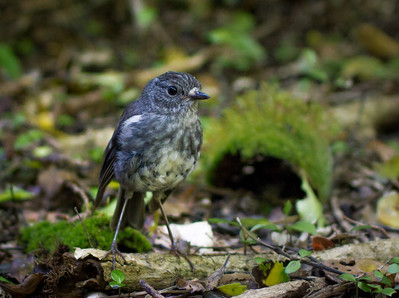 North Island Robin Bushy Park  --- Paul Willyams Photography