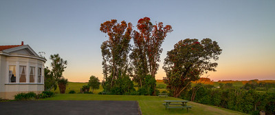 Pohutukawa - feeding spot for the Tui Bushy Park  --- Paul Willyams Photography