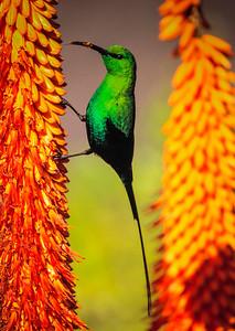 Malachite Sunbird on Aloe Ferox