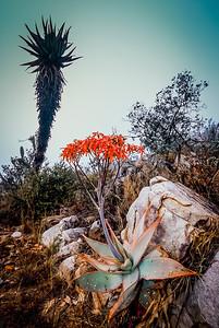 Two Aloes