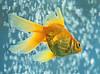 Irene Szilagy-Goldfish