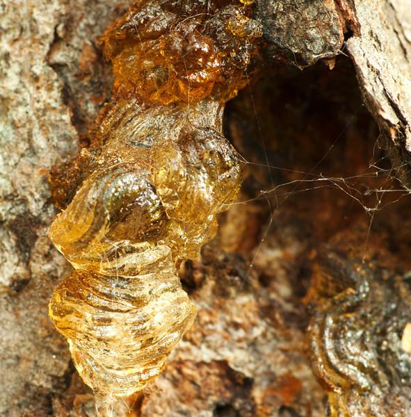 tomvincent Tree Sap & Spider Web
