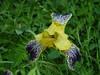 bob erickson iris