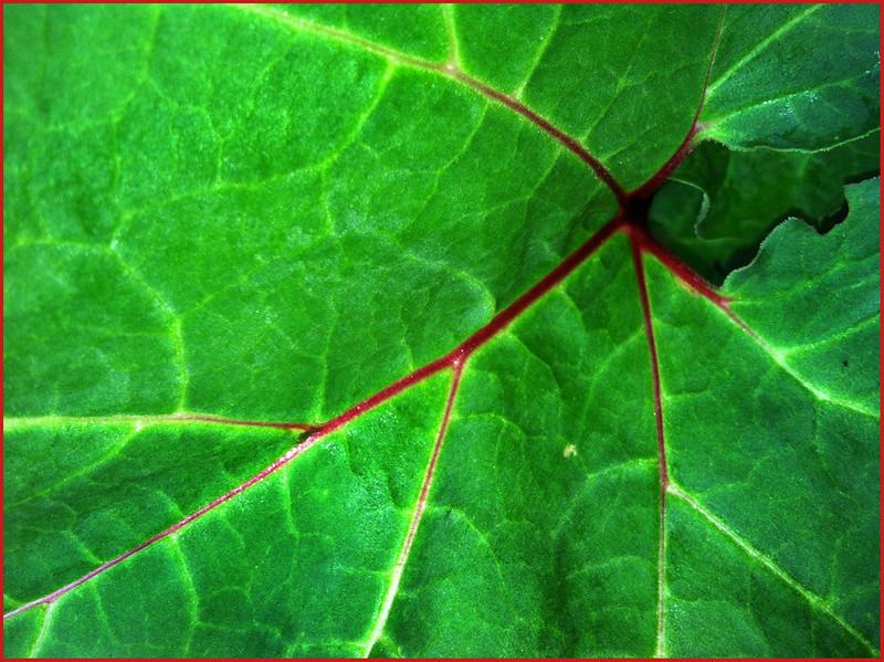 Sharon Peterson - Rhubarb Leaf
