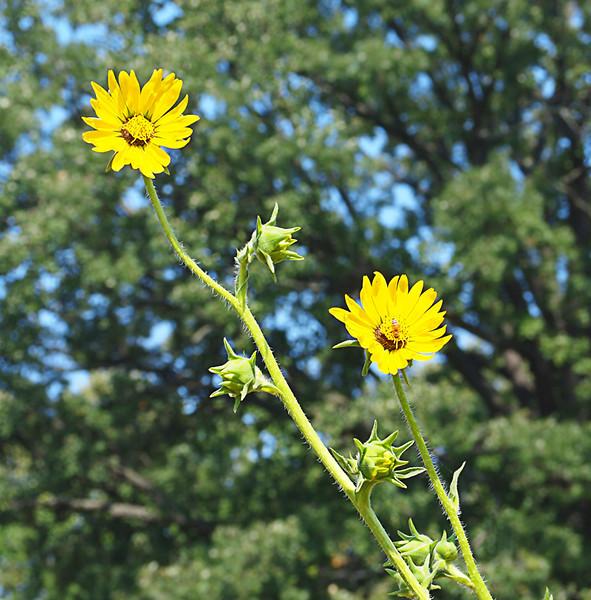 Irene Szilagyi-Prairie flower