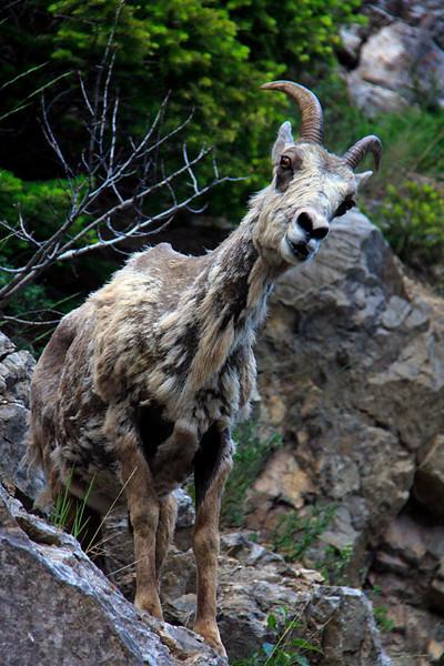 kathy zelm mountain sheep -glacier