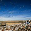 Landfill & Seagulls