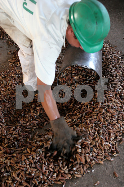 A worker gathers shelled babassu nuts for pressing at the Cooperative of Agro-extractivist Producers Lago de Junco (COPALJ) in the countryside of Brazil's northeastern state of Maranhao.  The babassu palm, native to this northeastern corner of Brazil, is an important part of the local culture and economy - more than 60 products come from it including oil used for cooking and cosmetics as well as the nutshell which is used as cooking fuel. The Association of Land Reform Settlements of Maranhao State (ASSEMA) is an umbrella NGO of associations operated for and by rural peasants and babassu nut crackers, which British NGO Action Aid has helped support ASSEMA since 1999.  The COPALJ manages the pressing of the babassu nuts into oil and sells the product on the national and international market.(AustralFoto/Douglas Engle)