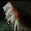 E Goss - anemone