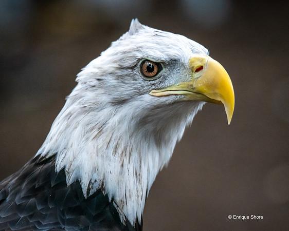 Bald Eagle, New York, USA