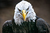 Bald Eagle, New York, USA