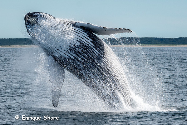 Humpback whale jumps out of Atlantic Ocean