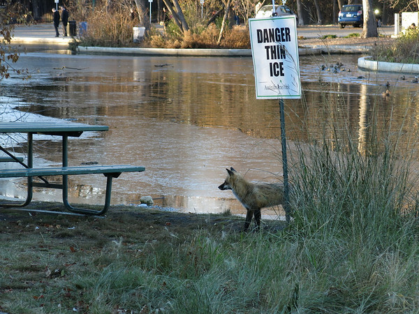 Fox at Duck Pond