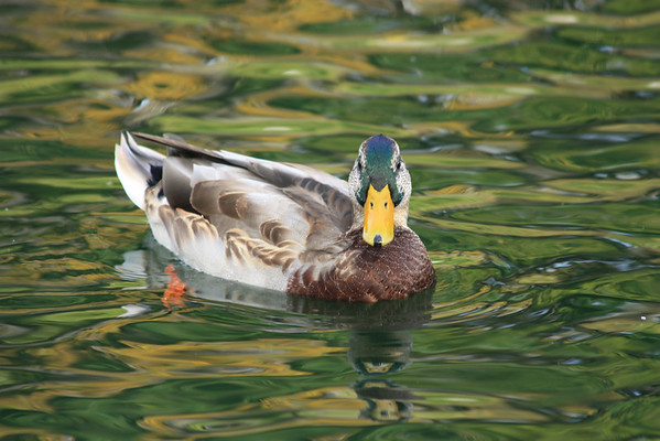 Duck and Reflections
