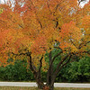 Blazing Tree in Autumn