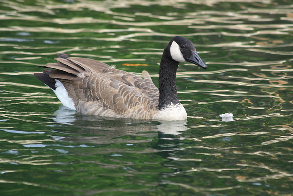 Goose and Reflections