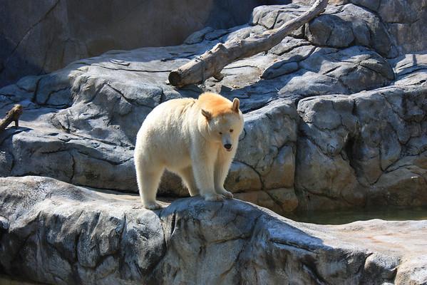 Polar Bear in Assiniboine Park Zoo