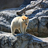 Polar Bear in Assiniboine Park Zoo