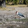 DSC_0446 w Marabou Stork