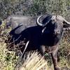 DSC_0499 w 1 Cape Buffalo