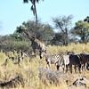 DSC_0174 wZebra &Giraffe