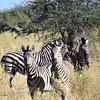 DSC_0155 w Zebra