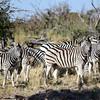 DSC_0176 w Zebras