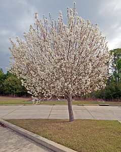 Ornamental Pear Tree