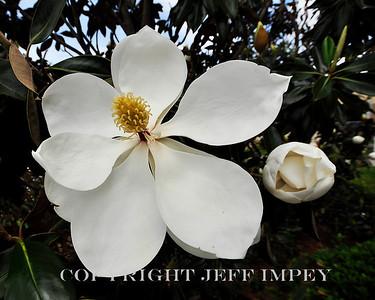 Magnolia bloom and blossom