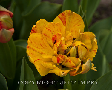 Variegated Tulip