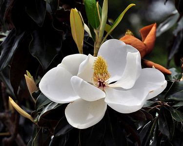 Southern Beauty, Magnolia Blossom