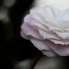 hybrid camellia, pink and white