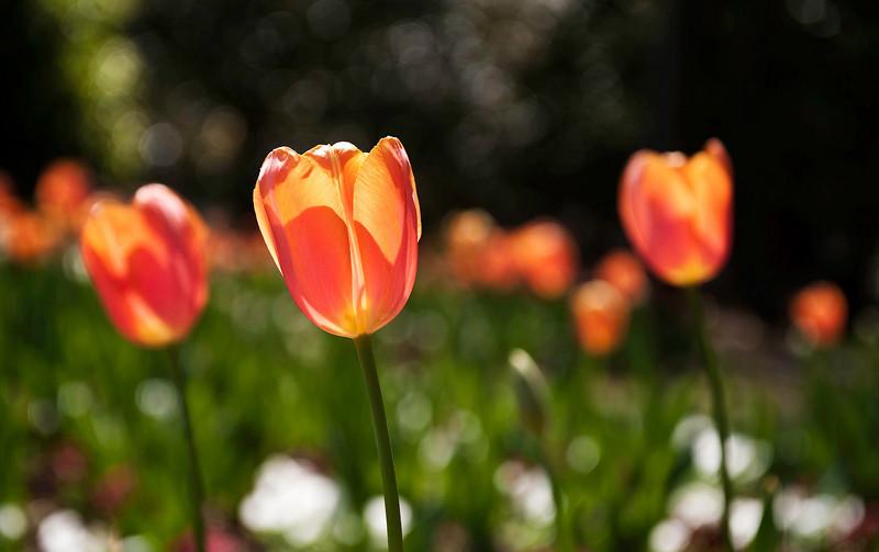 orange tulips, spring morning