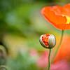 emerging orange poppy