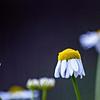 a lop-eared flower