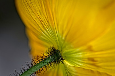 from behind the yellow poppy