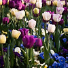 flowers painted by the morning sun <p> This photograph has been processed to accent the splashes of color in this collection of flowers.  Tulips and pansies provide the color in the early morning light. <p>