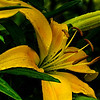 yellow day lily, after the rain